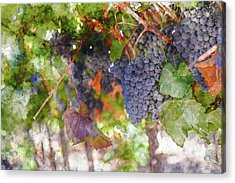 Red Wine Grapes On The Vine In Wine Country Acrylic Print
