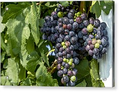 Red Wine Grapes On The Vine Acrylic Print by Teri Virbickis