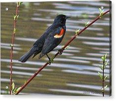 Red Wing Black Bird Acrylic Print