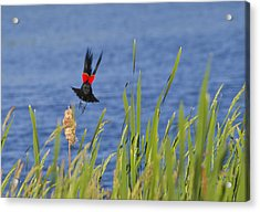 Red Wing Bow Acrylic Print