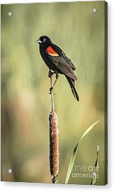 Acrylic Print featuring the photograph Red-wing On Cattail by Robert Frederick