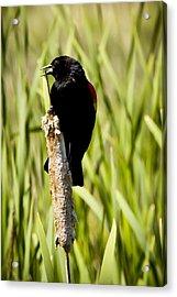 Red-winged Blackbird Acrylic Print