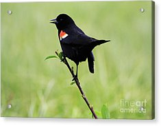 Red Winged Blackbird Acrylic Print by Alyce Taylor