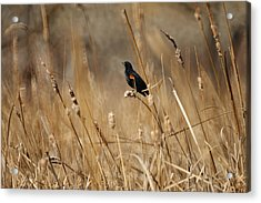 Red Winged Blackbird Acrylic Print by Ernie Echols