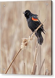 Male Red-winged Blackbird In A Minnesota Marsh Acrylic Print