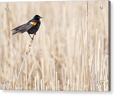 Red-winged Blackbird In A Minnesota Wetland Acrylic Print