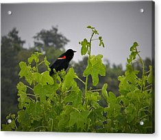 Red Winged Blackbird In The Rain Acrylic Print