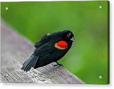 Red-winged Blackbird Acrylic Print by Juergen Roth