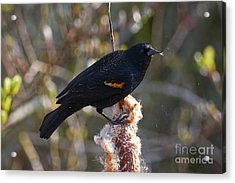 Acrylic Print featuring the photograph Red-winged Blackbird On Cattail Reed by Sharon Talson