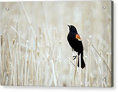 Red-winged Blackbird Perched Acrylic Print