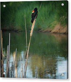 Red Winged Blackbird  Acrylic Print by Robert Bales