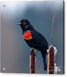 Red-winged Blackbird Singing Acrylic Print