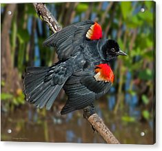Red-winged Blackbird Acrylic Print by Suzanne Stout