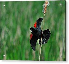 Red-winged Blackbird Acrylic Print by Tony Beck