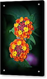 Acrylic Print featuring the photograph Red Yellow And Orange Lantana by KayeCee Spain