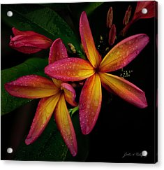 Red/yellow Plumeria In Bloom Acrylic Print