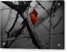 Redbird Acrylic Print by Shawn Wood