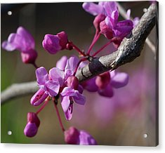 Redbud Blossoms Acrylic Print by Alan Raasch