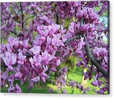 Redbud Purple Pansy Acrylic Print by Sandy Collier