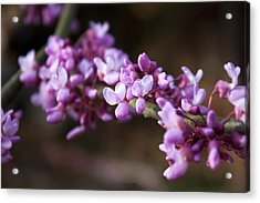 Acrylic Print featuring the photograph Redbuds In March by Jeff Severson