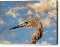 Acrylic Print featuring the photograph Reddish Egret by Kim Hojnacki