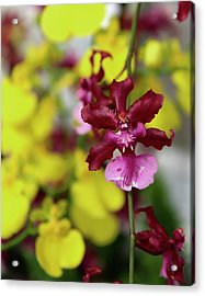 Maroon And Yellow Orchid Acrylic Print