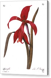 Redout�: St. James Lily Acrylic Print by Granger