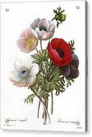 Redoute: Anemone, 1833 Acrylic Print by Granger