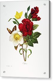 Redoute: Hellebore, 1833 Acrylic Print by Granger