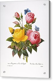 Redoute: Roses, 1833 Acrylic Print by Granger