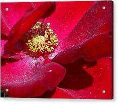Redrose Acrylic Print by Amy Williams