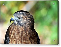 Redtail Acrylic Print by Marty Koch