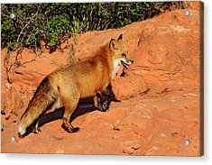 Redtailed Fox Acrylic Print by Dennis Hammer