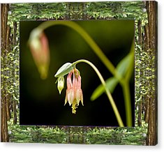 Acrylic Print featuring the photograph Redwood Columbine by Bell And Todd