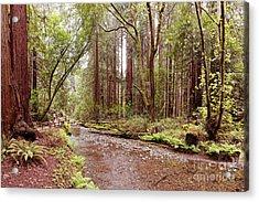 Redwood Creek Peacefully Flowing Through Muir Woods National Monument - Marin County California Acrylic Print by Silvio Ligutti