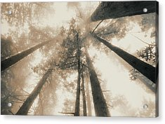 Redwood Forest, Northern California, Usa Acrylic Print by Mel Curtis