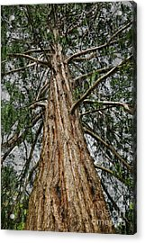 Redwood Reaches For The Sky Acrylic Print