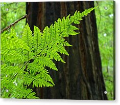 Redwood Tree Forest Ferns Art Prints Giclee Baslee Troutman Acrylic Print by Baslee Troutman