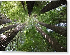 Redwood Tree Scope Acrylic Print