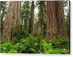 Redwoods Acrylic Print by Eric Foltz
