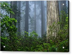 Redwoods In Blue Fog Acrylic Print