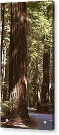 Redwoods Acrylic Print by Mike McGlothlen