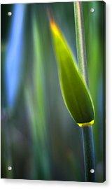 Reed Acrylic Print by Silke Magino