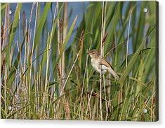 Reed Warbler Acrylic Print