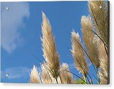 Reeds Against Sky Acrylic Print