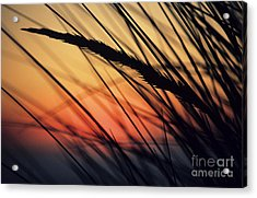 Reeds And Sunset Acrylic Print by Brent Black - Printscapes