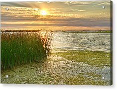 Reeds In The Sunset Acrylic Print