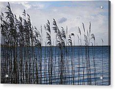 Acrylic Print featuring the photograph Reeds by Votus