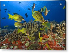 Reef Scene Acrylic Print by Dave Fleetham - Printscapes