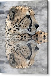 Reflected Cheetah Acrylic Print